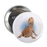 Bearded Dragon 2.25