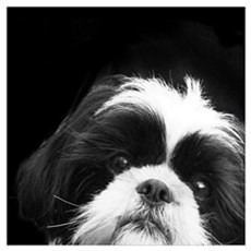 Shih Tzu Dog Framed Print