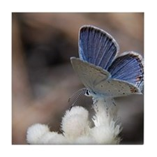 Eastern Tailed Blue on Pussytoes Tile Coaster