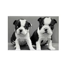 Boston Terrier puppies Magnets