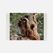 Bristlecone Pine Magnets