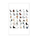 36 Pigeon Breeds Mini Poster Print