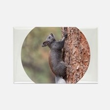 Kaibab Squirrel Magnets