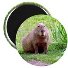 Capybara Looking Forward Magnet