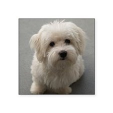 coton de tulear puppy Sticker