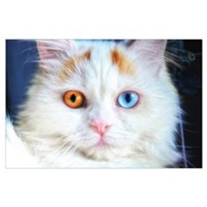 Odd-Eyed White Cat Wall Art Poster