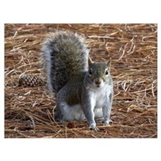 I See You - Eastern Grey Squirrel Poster
