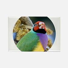 Gouldian Finch Magnets