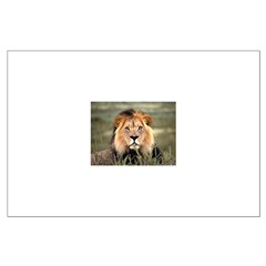 Male African lion Posters