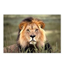 Male African lion Postcards (Package of 8)