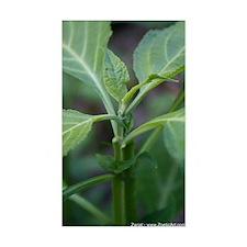 Salvia Divinorum Rectangle Decal