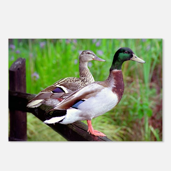 2 Mallards On a Fence Postcards (Package of 8)