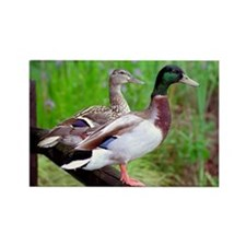 2 Mallards On a Fence Rectangle Magnet (10 pack)
