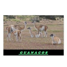 Guanaco Postcards (Package of 8)