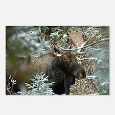 Bull Moose 2 Postcards (Package of 8)