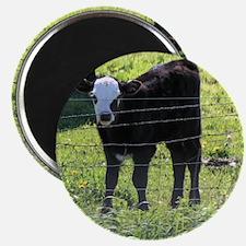 Calf Magnets