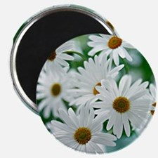 Daisies in Bloo Magnets