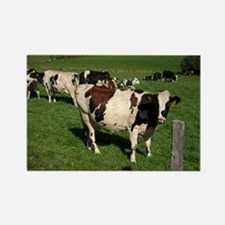 Berkshire County Cows Rectangle Magnet