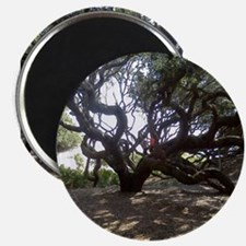Large Live Oak on Cumberland Island Magnets