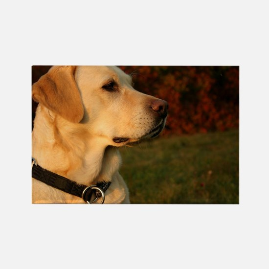 Cute Yellow lab Rectangle Magnet