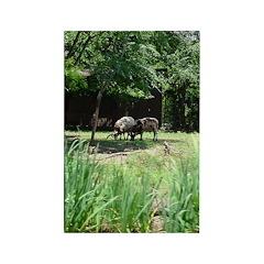 jacob sheep Rectangle Magnet (100 pack)