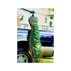 Peacock on a Pickup Rectangle Magnet (10 pack)