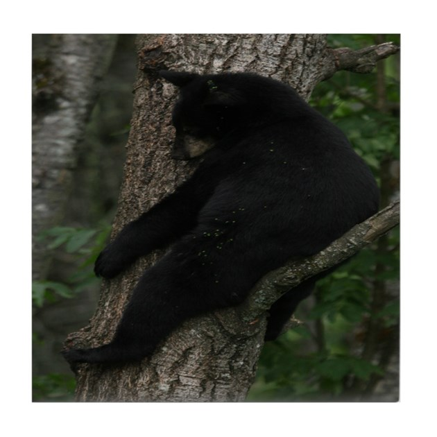 Black bear in tree tile coaster by blackbearsite for Belly button bears wall mural