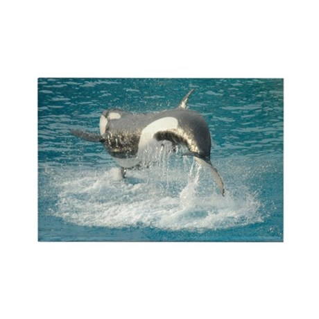 Killer Whale Rectangle Magnet (10 pack)