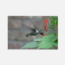 Ruby-throat sips red flower Rectangle Magnet