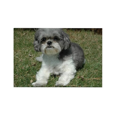 Brittany Shih tzu Magnets by lifehowiseeit
