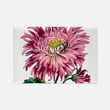 Pink Chrysanthemu Magnets