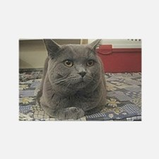 british shorthair gray Magnets