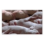 Baby Pigs Sticker (Rectangle)