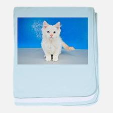 Karma - Cream Pointed Teacup Ragamuffin Kitten bab