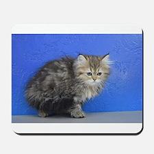 Opal - Silver Golden Tabby Ragamuffin Kitten Mouse