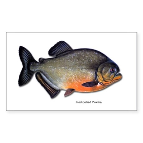 Red-Bellied Piranha Fish Rectangle Sticker