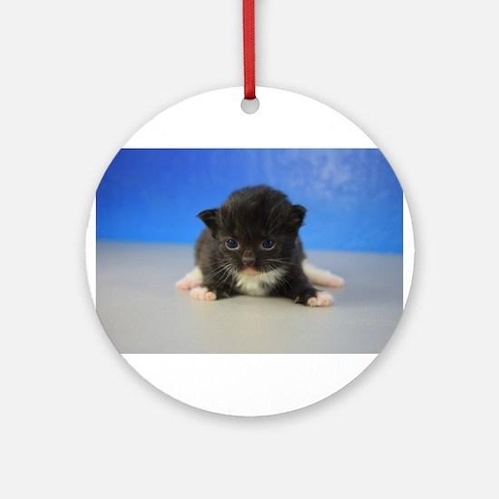 Gideon - 126 Black Tuxedo Ragamuffin Kitten Round
