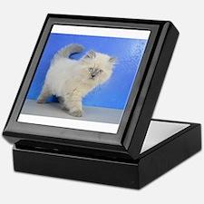 Cleopatra - Ragamuffin Kitten Blue Point Keepsake