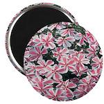 Phlox Candy Stripe Magnet