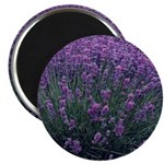 Lavandula - Lavender 2.25