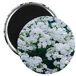 Phlox White Magnet