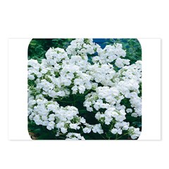 Phlox White Postcards (Package of 8)
