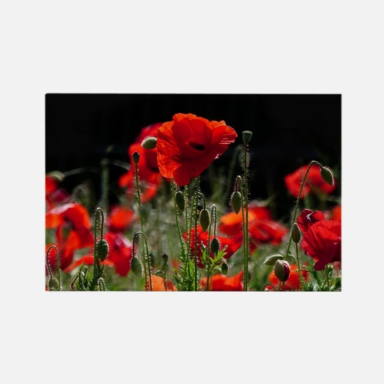 Red Poppies in bright sunlight Magnets