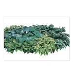 Hosta Clumps Postcards (Package of 8)