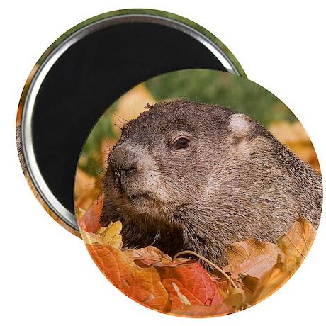 """Groundhog 2.25"""" Magnet (10 pack)"""