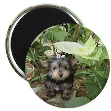 Tiny Yorkie Puppy Magnet