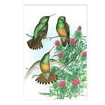 Buff-bellied Hummingbirds Postcards (Package of 8)