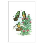 Buff-bellied Hummingbirds Large Poster
