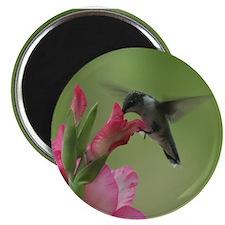Hummingbird And Gladiolas Magnet Magnets