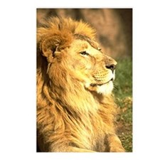 Lion Photograph Postcards (Package of 8)